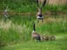 canada geese and heron