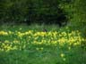 rabbit in a field of cowslips